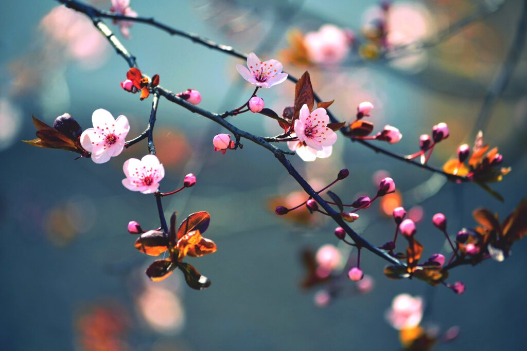 Blühender japanischer Baum Sakura im Frühling